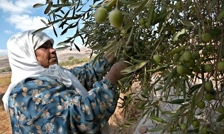 Palestinians Harvest Olives In The West Bank